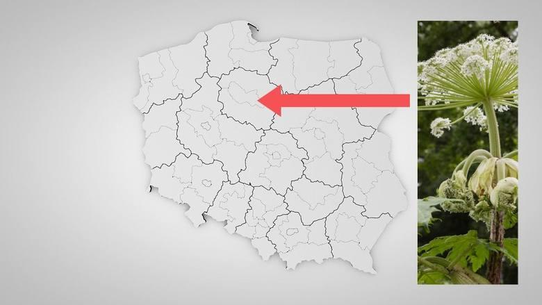 Mapa barszczu Sosnowskiego w regionie. Pomyłka może zaboleć! Czym różni się od zwyczajnego?