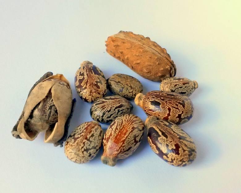 Olejek rycynowy pozyskuje się z nasion rącznika pospolitego (rycynusa). Zanim jednak będzie nadawał się do użycia, poddaje się go procesom przetwarzania,