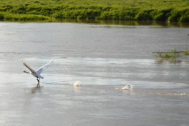 Rozlewisko nad Odrą i Obrzycą w gminie Sulechów to raj dla zwierząt, zwłaszcza wiosną