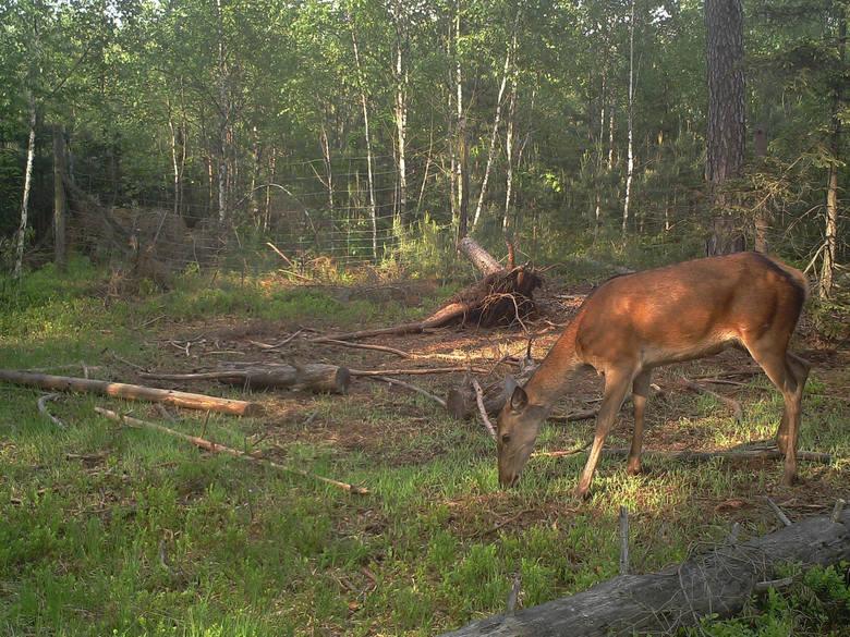 Wiele nadleśnictw ma w swoich lasach zamontowane fotopułapki. To dzięki nim można podglądać jak zachowują się zwierzęta. Przejdź do kolejnego zdjęcia