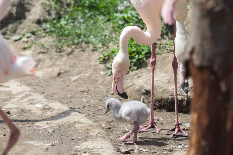 Małe pisklęta wyglądają jak szare gąski. Z czasem będą się upodabniały do rodziców.