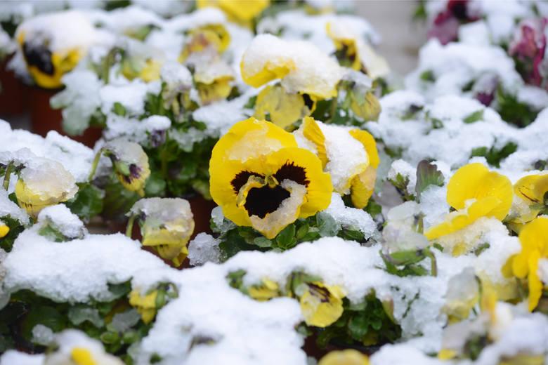 W sobotę pierwszy dzień kalendarzowej wiosny. Czy obecne, wiosenne temperatury i piękne słońce pozostaną z nami na dłużej? Otóż nic z tego, właśnie w