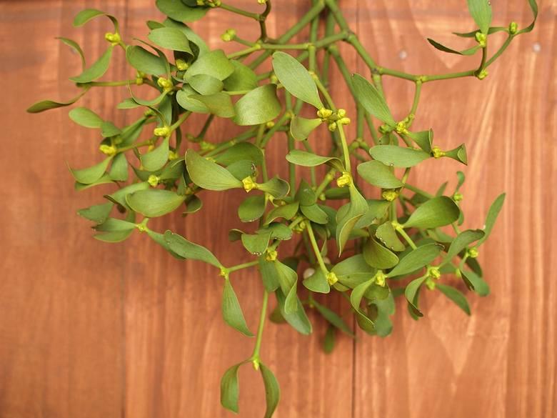 To kolejna roślina (prócz choinki i gwiazdy betlejemskiej) związana z Bożym Narodzeniem