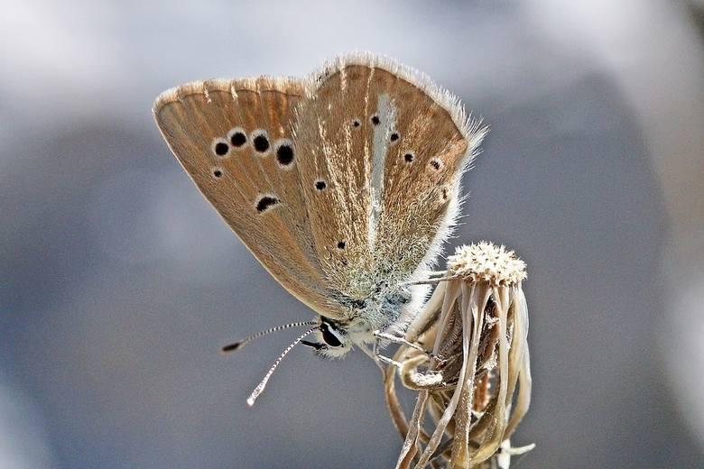 Na terenie Polski jest objęty ścisłą ochroną, uznawany za gatunek skrajnie zagrożony wyginięciem. Trudno oszacować ich liczbę w Polsce. Grożą mu zmiany