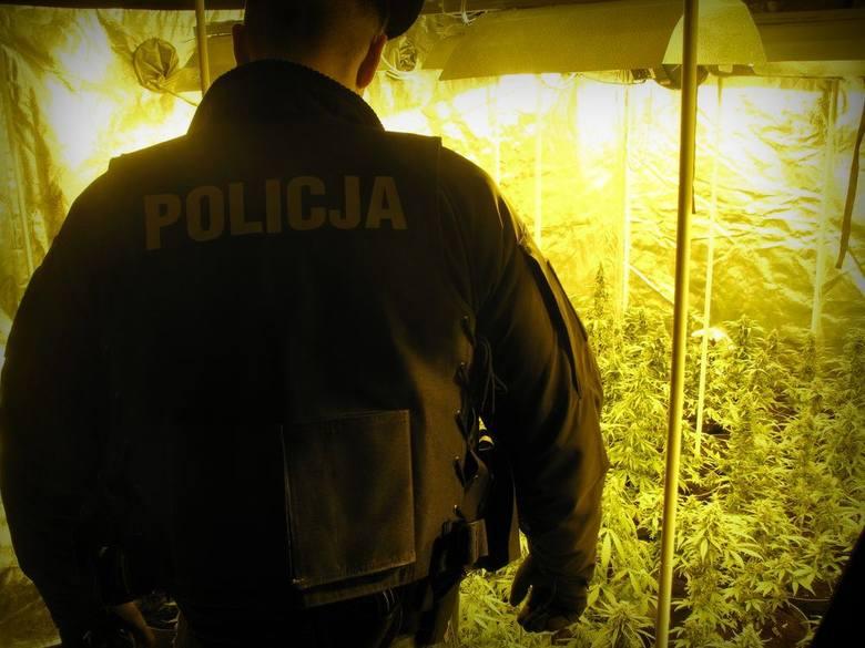 Blisko 2 300 krzewów konopi i ponad 60 kilogramów już ściętych i przygotowanych do suszenia roślin, zabezpieczyli opolscy policjanci. Narkotyki o czarnorynkowej