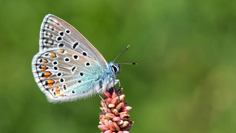 Motyl modraszek ikar<br />
