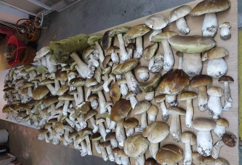 Ile grzybów zebrał Grzegorz Jasionowski?