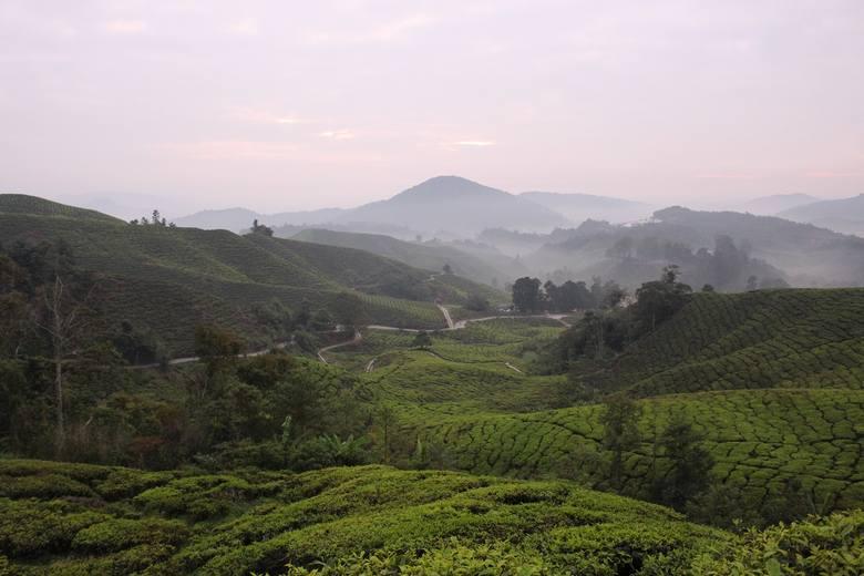 Ile właściwie warta jest herbata, za którą często płacimy krocie? Zobacz pola i wytwórnie herbaty w Malezji.