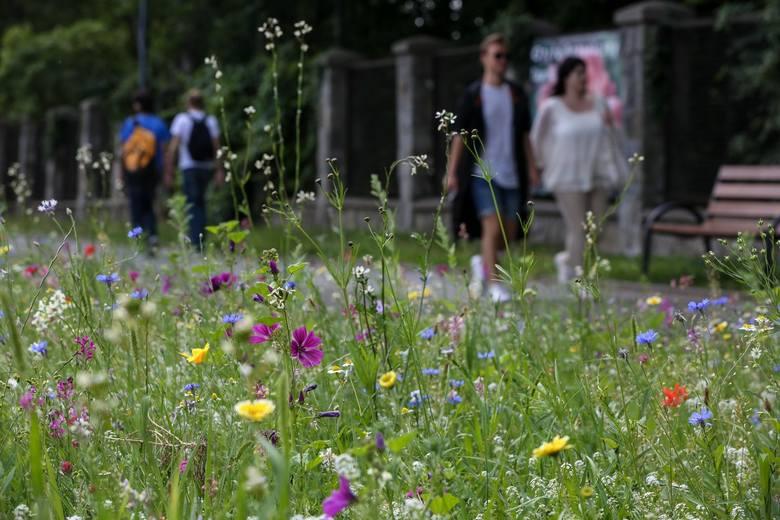 Czy Toruń podąży śladem innych miast, w których tradycyjne trawniki ustępują miejsca łąkom? Przeczytajcie! SZCZEGÓŁY NA KOLEJNYCH STRONACH >>>tekst: