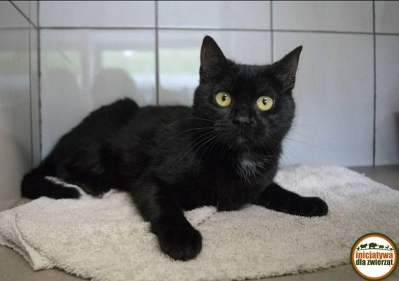 Czarny kot, który przebiegnie drogę, może przynieść pecha. Tak uważa wielu z nas i może dlatego kotom o takim umaszczeniu najtrudniej znaleźć dom. Kilka