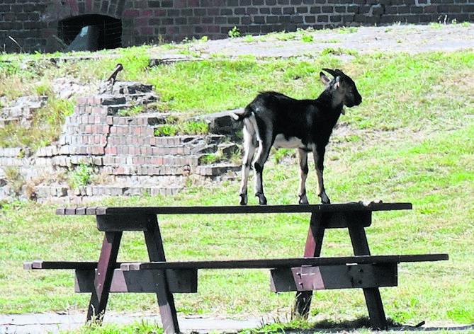Małże odmulają fosę, a kozy koszą trawę w Forcie Gerharda