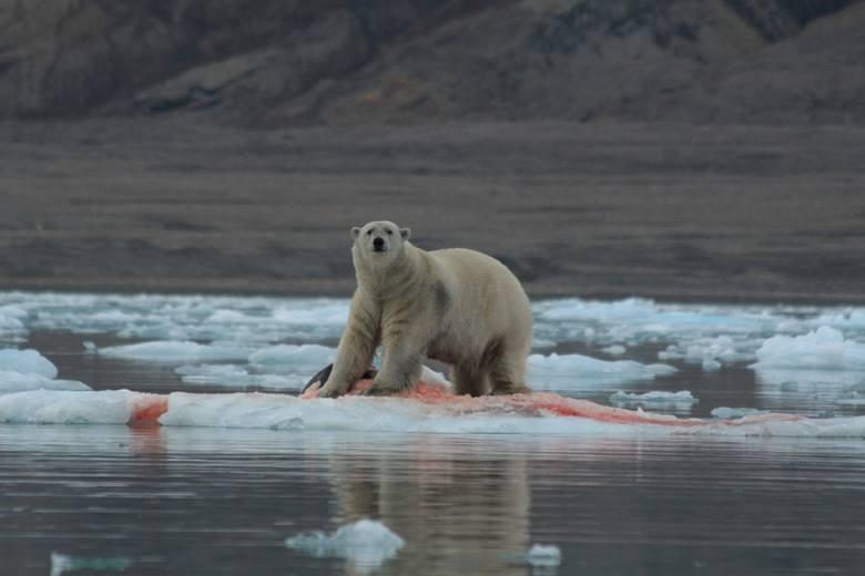 Niedźwiedź polarny podczas uczty