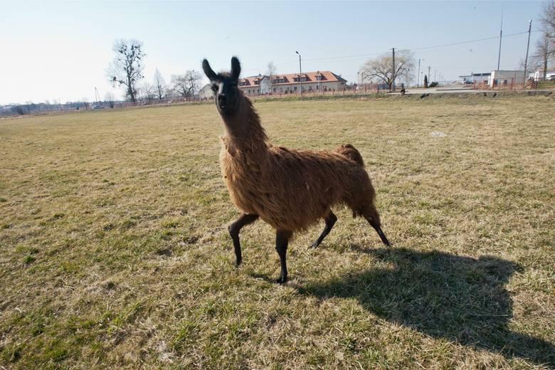 Lama, która uciekła z prywatnej hodowli w Bieruniu, wciąż jest na wolności. Zwierzę już od połowy marca można zobaczyć na terenie miasta. Nie udało się