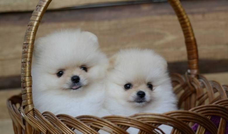 Szpic miniaturowy pomeranian to jedna z najmodniejszych ras psów