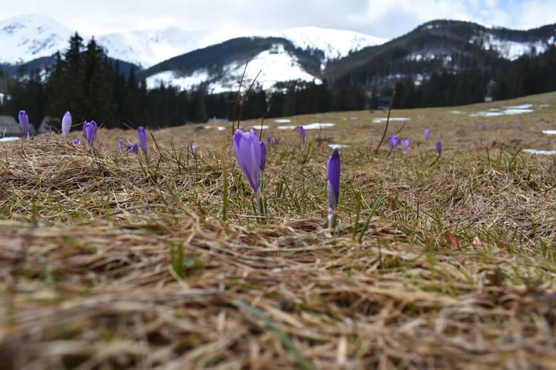 Krokusy 2021 w Dolinie Chochołowskiej. Sezon w Tatrach właśnie się zaczyna! Tłumy turystów na szlaku. Zdjęcia 21.05.2021