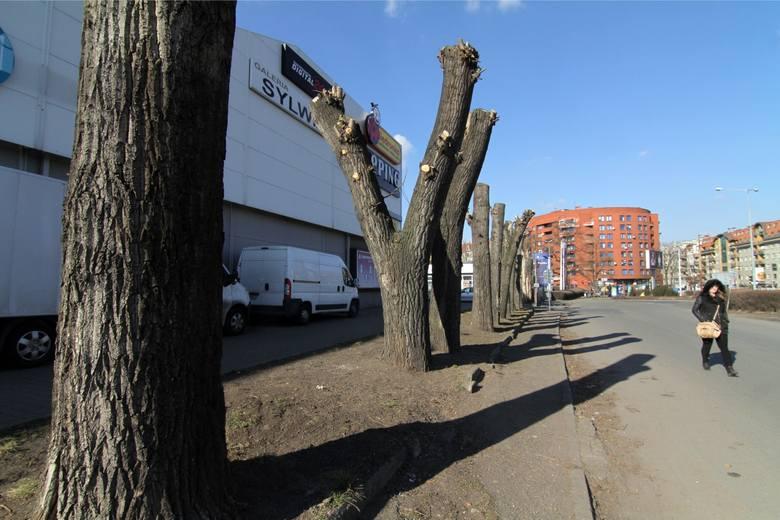 Tak wyglądają drzewa na ul. Krakowskiej. Na razie nie wiadomo, kto doprowadził je do takiego stanu