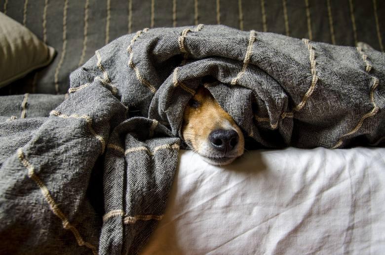 - Psy odczuwają zdecydowanie większy stres, gdy całymi dniami siedzą w domu same, niż wtedy, gdy siedzi z nimi zestresowany koronawirusem właściciel. Pies jest wtedy wręcz szczęśliwy, bo może w końcu spełnić porządnie swój psi obowiązek i być towarzyszem  – mówi Piotr Łoś, lekarz weterynarii z...