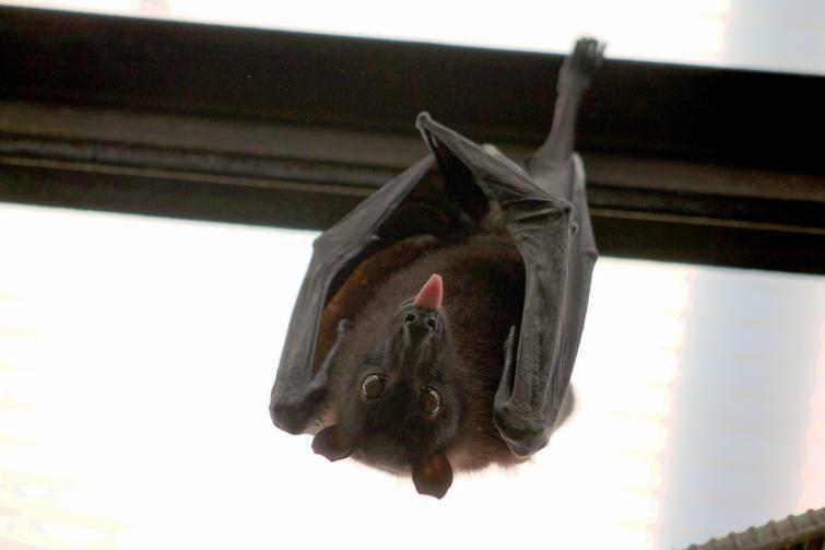 Nietoperze to bardzo przydatne zwierzaki. Nie bójmy się ich, nawet jeśli pojawią się w naszych domach