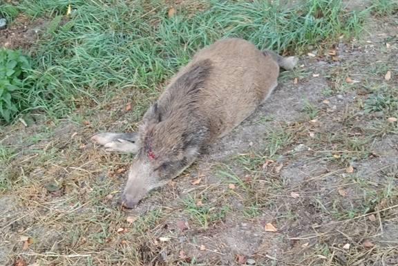 Martwe dziki w Zielonej Górze Raculi. Ktoś je zabił i porzucił? Mieszkańcy są w szoku [ZDJĘCIA CZYTELNIKA]