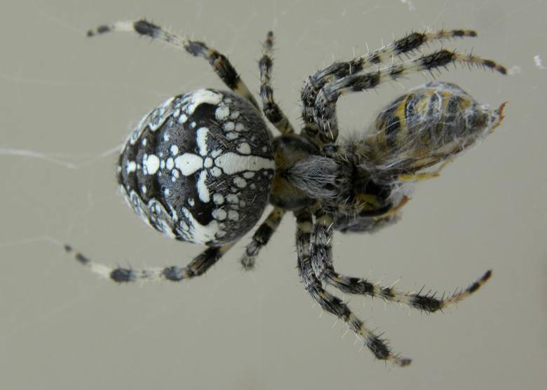 W Polsce występuje kilka jadowitych gatunków pająków. Ich ukąszenie może powodować ogromny ból oraz inne dolegliwości. Często nie zdajemy sobie z tego