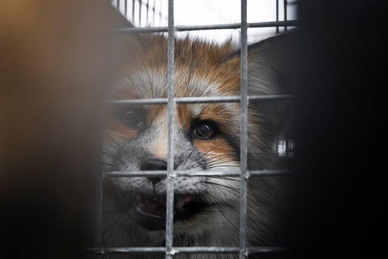 LUBUSKIE Chore lisy i norki na fermie? Obrońcy zwierząt wezwali policję i inspekcję weterynaryjną. Oceny służb i aktywistów się różnią