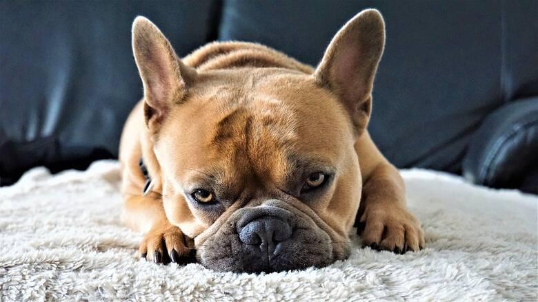 Buldog francuskiDo innych psów o podwyższonym ryzyku należą buldogi francuskie