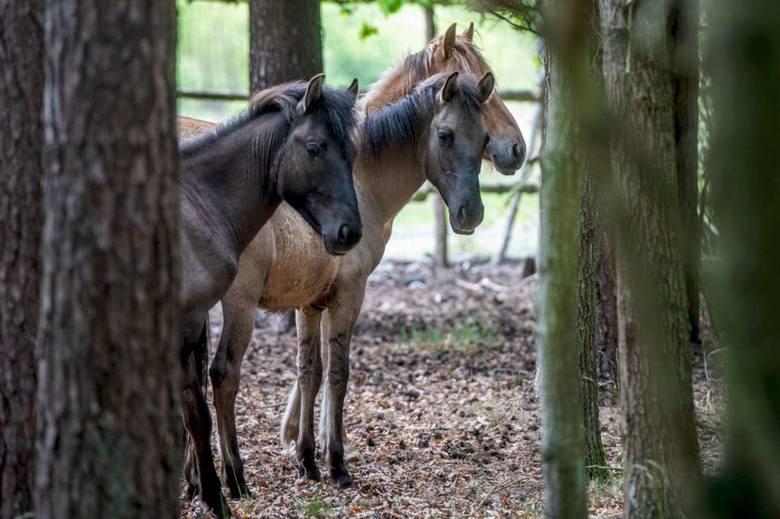 W leśnictwie Daniele prowadzony jest kontrolowany wypas koników polskich. To jedyne takie miejsce w kraju.