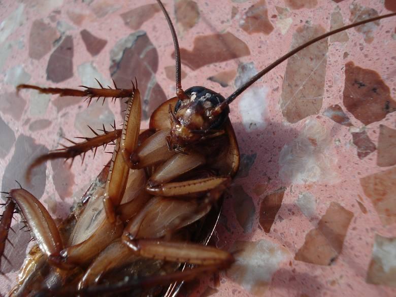 Robaki, które mieszkają w twoim domu. Możesz nawet o tym nie wiedzieć! Pluskwiaki, insekty, które budzą wstręt. Jak się ich pozbyć?