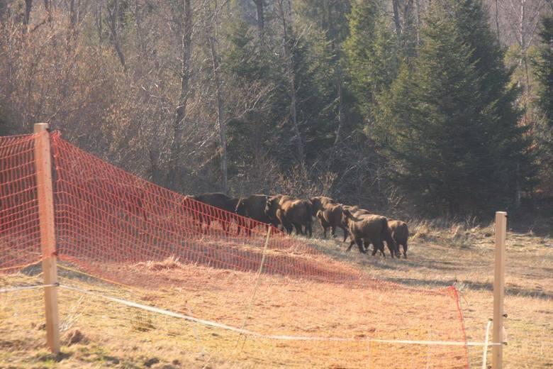 Żubry z leśnictwa Sokoliki rozpoczęły samodzielne życie stadne. Dokarmiano je, żeby mogły przywiązać się do nowego środowiska. Gdy ruszy trawa, będą radzić sobie same