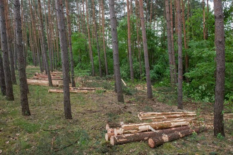Chodzi głównie o pozyskanie drewna tzw. niepełnowartościowego czyli świerka i sosny, które królują w wielkopolskich lasach, zwłaszcza w Puszczy Noteckiej.