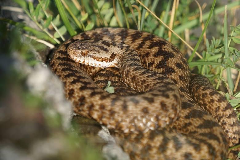 Żmija zygzakowata to wąż o bardzo charakterystycznym wyglądzie, którego ubarwienie jest zmienne. Charakteryzuje się szarym lub brązowym grzbietem z wyraźnie