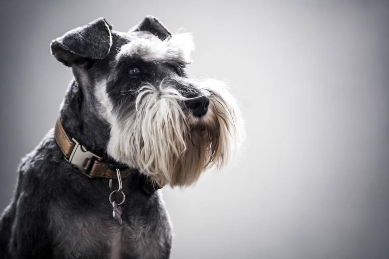 Sznaucer miniaturowySznaucer miniaturowy to pies przyjacielski i towarzyski, nie należy jednak zapominać o jego charakterku, który objawia się m.in.