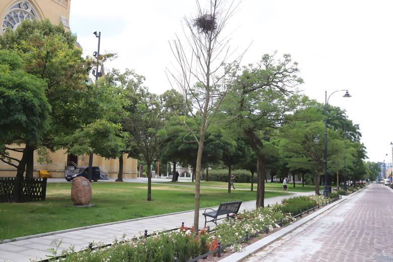 Usychają też  dwa z czterech szpalerów drzew zasadzonych przy nowym rondzie między ulicą Wydawniczą i Kopcińskiego. Źle mają się też akacje sadzone jesienią