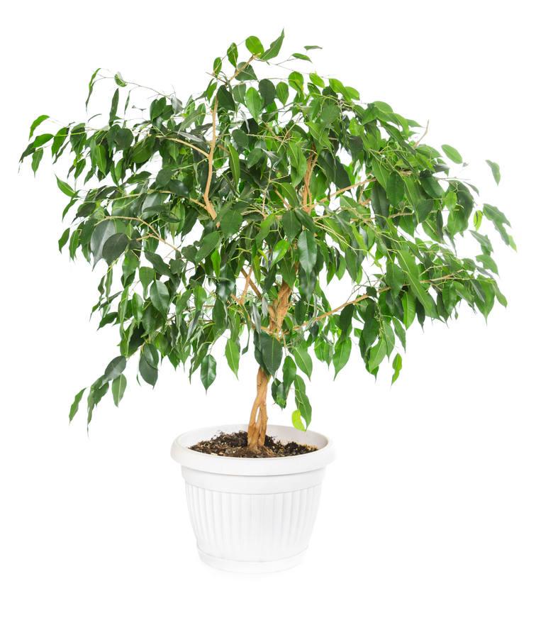 Fikusy benjamina to były w minionych dekadach najpopularniejsze rośliny doniczkowe w Polsce. Nawet obecnie można je spotkać w mieszkaniach i biurach.
