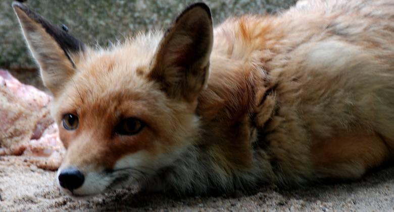 W Bydgoszczy i jej najbliższych okolicach mieszkają zwierzęta reprezentujące kilkadziesiąt gatunków ssaków, gadów, płazów i ptaków. Niektóre z nich,