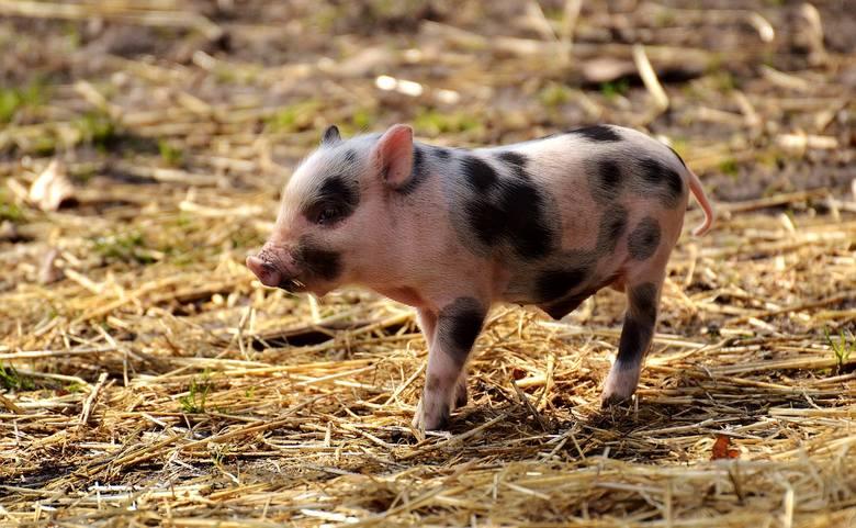 """Zamykają przejścia dla zwierząt, żeby afrykański pomór świń nie """"wjechał"""" do nas autostradą [wideo]"""
