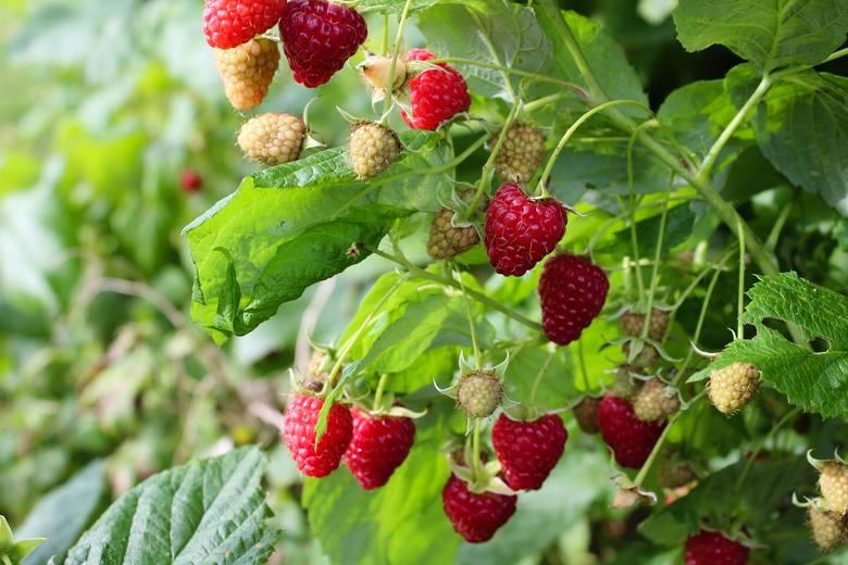 Nie trzeba wiele wysiłku, ani dużego ogrodu, żeby cieszyć się świeżymi owocami od późnej wiosny do jesieni. Wystarczy posadzić kilka krzewów. Oto on