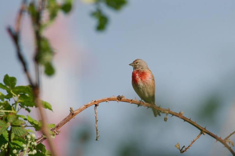 Niewielki, typowo wiejski ptak o smukłej sylwetce i długim ogonie, mniejszy i delikatniejszy od wróbla. Na terenie Polski gatunek ten jest objęty ścisłą