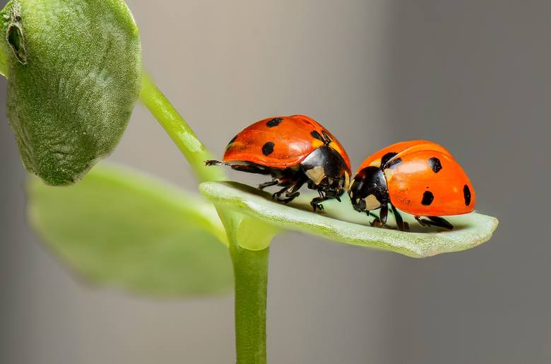 Biedronki przed atakiem na nie same bronią się, wydzielając żółtą substancję (nieraz można ją zauważyć po strzepnięciu biedronki z ręki). To cuchnąca dla innych drapieżczych owadów ciecz, która ma je zniechęcić do posiłku.