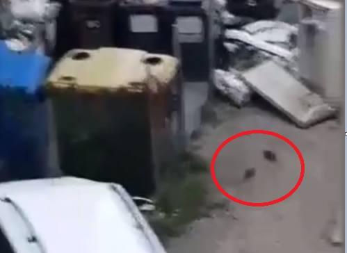 Plaga szczurów w Mysłowicach. Na ulicy Powstańców mają się świetnie