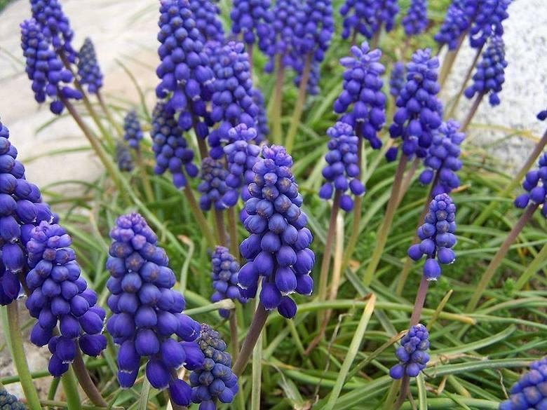 Szafirek - to kolejny cebulowy kwiat wiosenny. Przypomina lawendę, kwitnie w kolorze błękitnym. Kwiaty pojawiają się po około 3-4 tygodniach od momentu