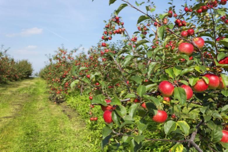 Grójeckie jabłka są wizytówką tego regionu w całej Polsce.