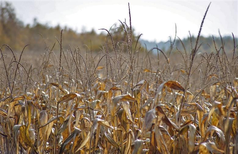 250 tys. wniosków o pomoc suszową 2019. Do kiedy nabór w ARiMR?