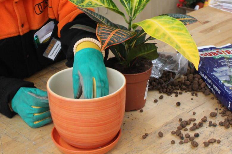 Rosliny przesadzamy do większych doniczek, niż te, w których rosły do tej pory.