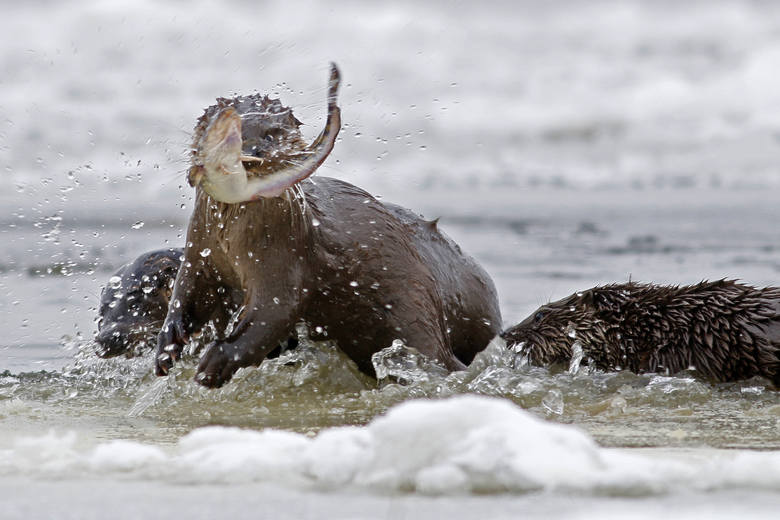 Zima to najlepszy okres, by obserwować wydry. - To dość duże zwierzęta, które swoim ciemnym futrem wyraźnie odróżniają się na śniegu i lodu - mówi Piotr