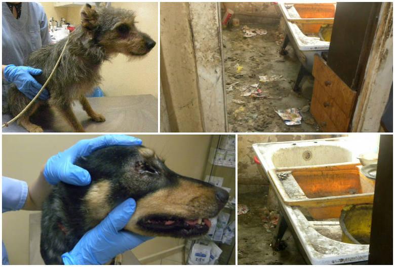 Tragiczne warunki w mieszkaniu w Dąbiu. Psy były skrajnie zaniedbane, przerażone widokiem ludzi [zdjęcia]