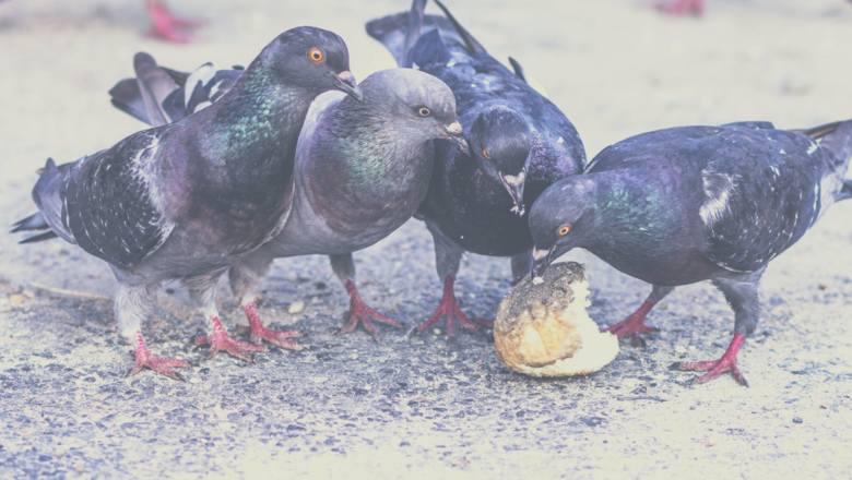 Dokarmiasz łabędzie i kaczki pieczywem? Tak możesz im poważnie zaszkodzić. Chleb zawiera dużo soli, która szkodzi ptakom.  Niewłaściwa dieta skutkuje