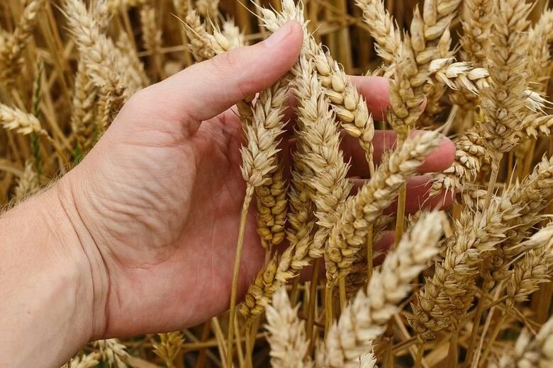 Tyle oferował skup rolnikom z Kujaw i Pomorza. Ceny zboża [dane GUS za 2020]