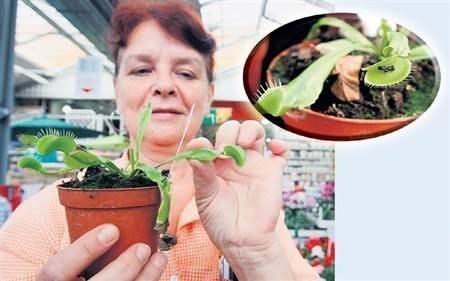 Mięsożerne rośliny  do... rzeźnika