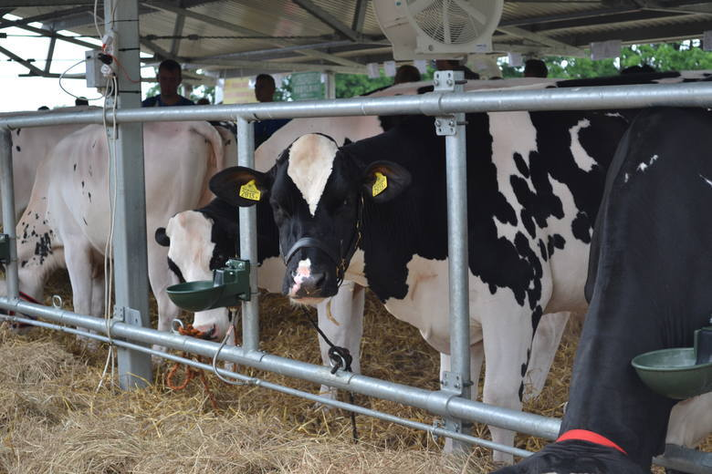 Ile mleka dały krowy w ciągu roku? GUS o polskich oborach